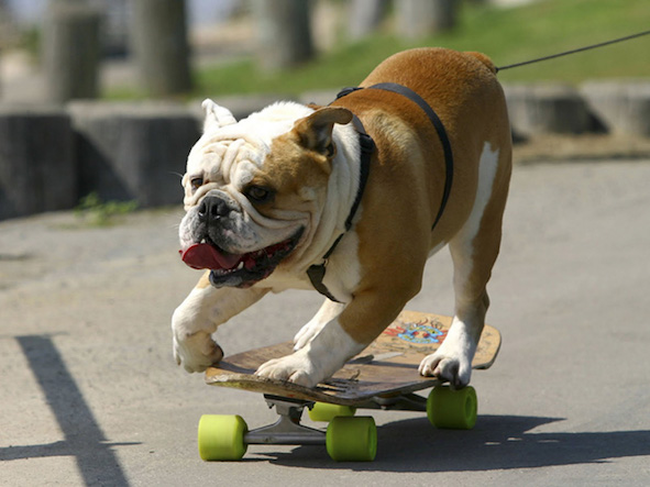 Natural Balance bulldog in training. (PRNewsFoto/Natural Balance)